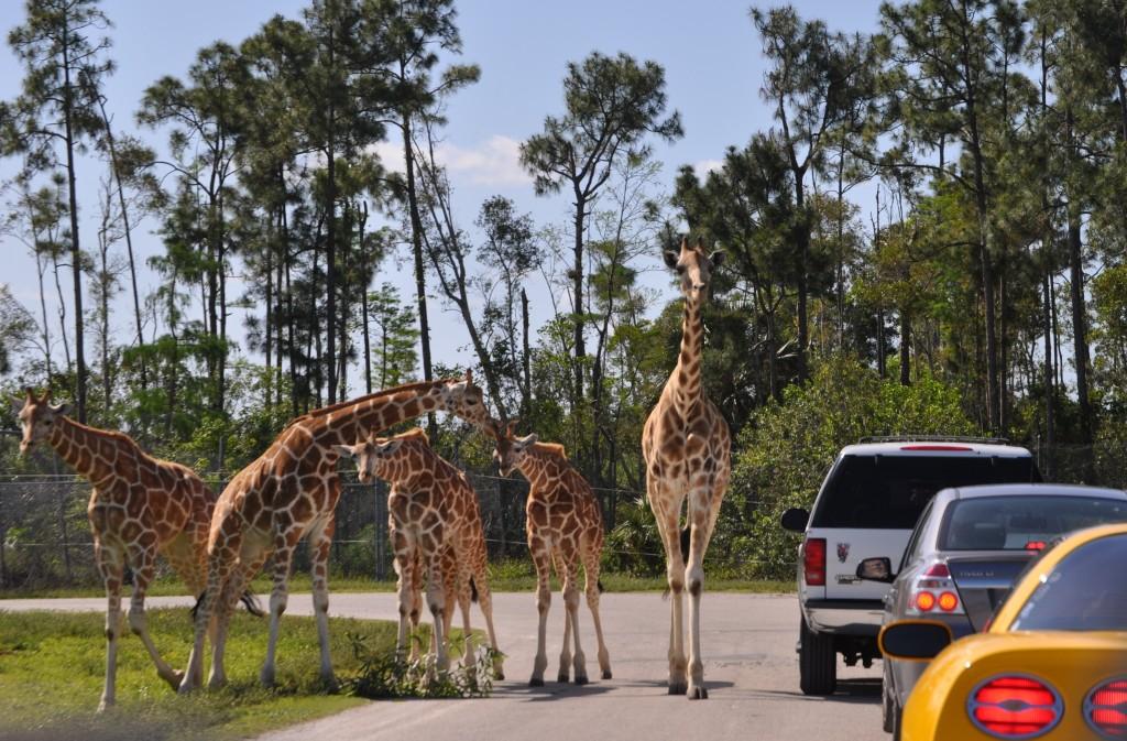 Ponto Miami O que fazer em Miami Lion Country Safari 3